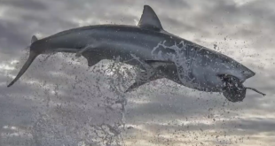 Record-breaking shark breach caught on camera: 'The photo you dream of'