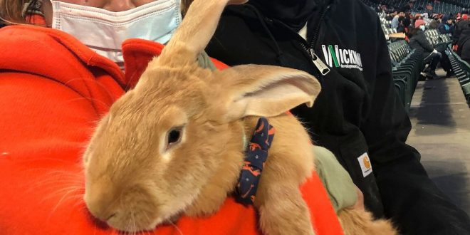 Therapy bunny in stands a hit at Giants' ballpark