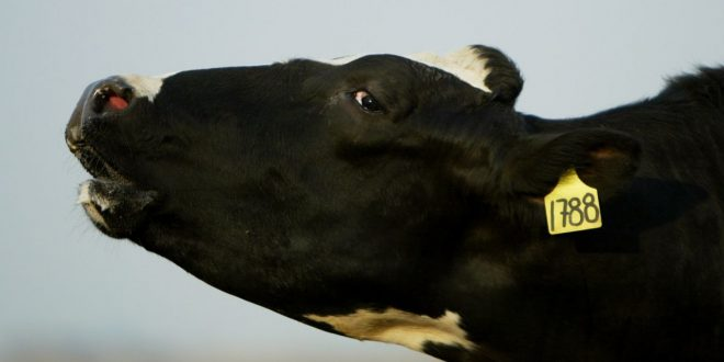'We Need a Tesla for the Cow': The Wild, Dubious Plan to Feed Cows Seaweed