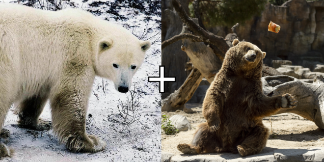 Polar Bear-Grizzly Hybrids, Aka Pizzly Bears, May Be Growing More Common Due to Climate Crisis
