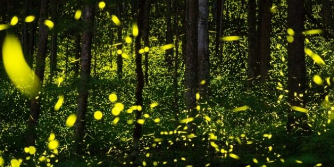 Some fireflies can flash in unison, and scientists are trying to figure out how