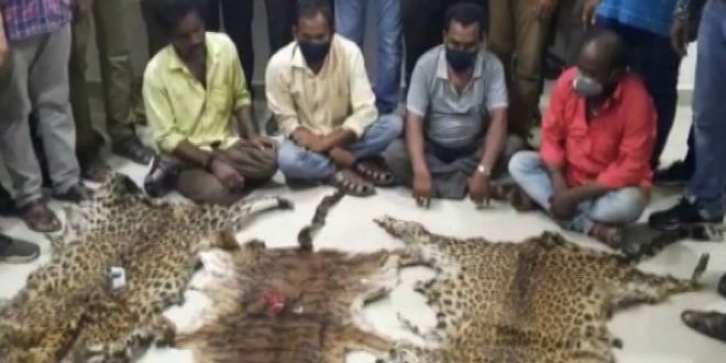 3 Leopard Skins Seized From Smuggling Syndicate In Kalahandi, 4 Held
