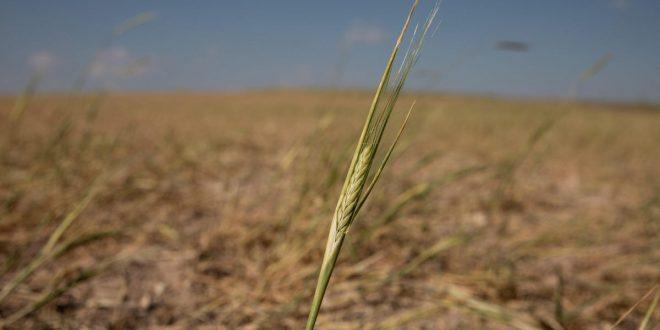 The U.S. Wheat Crop Is in Trouble